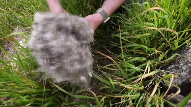 on a remote island in breidafjordur bay off the west coast of iceland, a thousand-year-old harvest takes place -- the hunt for elusive eiderdown,... - treasure hunt stock videos & royalty-free footage