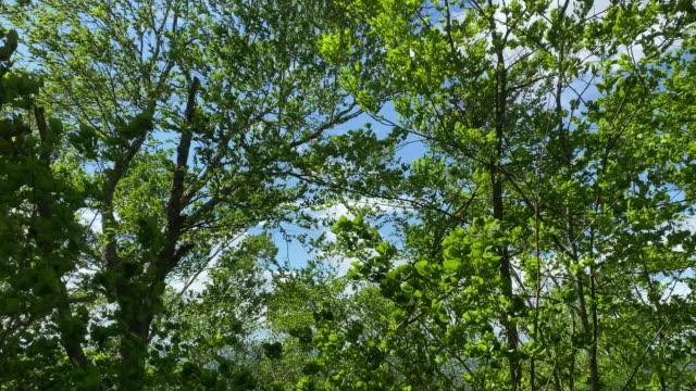 在陽光明媚但颳風的六月日,在高大的樹上隆隆的樹葉的移動視頻。 - 樹 個影片檔及 b 捲影像