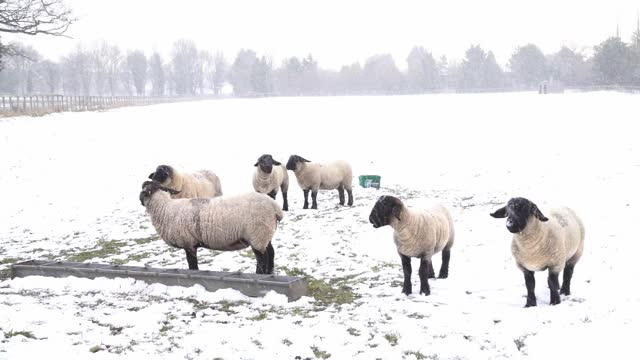 on a winter's day with snow still falling. gathered round a feed tray. - moving down stock videos & royalty-free footage