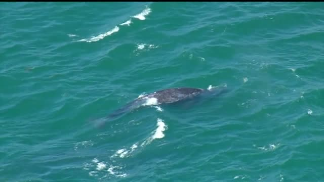 kswb on april 28 san diego lifeguards reported a baby whale swimming in the surf line near belmont park in mission beach the whale was spotted near... - san diego stock videos & royalty-free footage