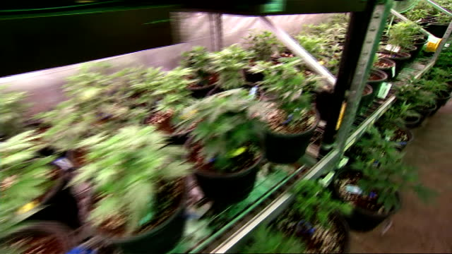 marijuana business robert moore in colorado usa colorado general views of cannabis factory shelves of cannabis plants close shot of cannabis plants... - ボング点の映像素材/bロール