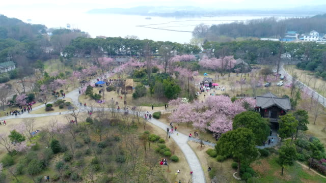 on march 5 the turtle head isle of taihu lake in wuxi city jiangsu province scenic spot in china / early cherry blossoms bloom in taihu lake - wuxi stock videos and b-roll footage