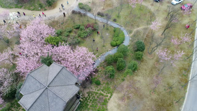 on march 5 the turtle head isle of taihu lake in wuxi city jiangsu province scenic spot in china,early cherry blossoms bloom in taihu lake - wuxi stock videos and b-roll footage
