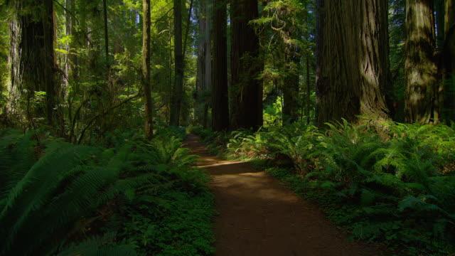 STEADICAM POV on path through dense green forest, Redwood National Park, California