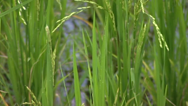 on ricegrass. - extreme close up stock videos & royalty-free footage