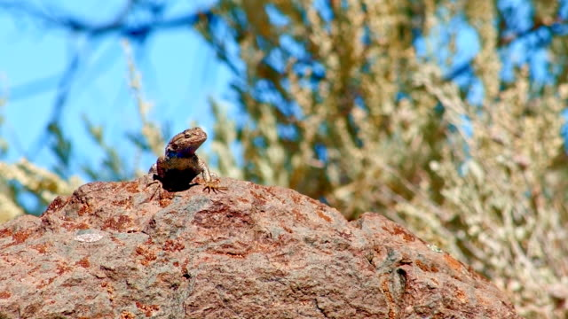 on rock sagebrush lizard steens mountain near malhuer wildlife refuge 5 - lizard stock videos and b-roll footage