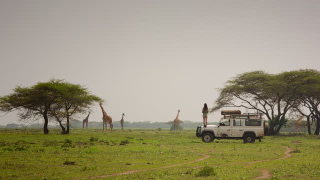 on safari with four giraffe - off road car stock videos and b-roll footage