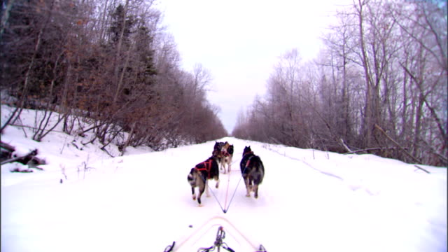 vidéos et rushes de of dogs running, tied to tuglines & gangline, pulling sled on snow trail w/ bare trees along trail. sled dog racing, arctic, winter, dog sport,... - bare tree