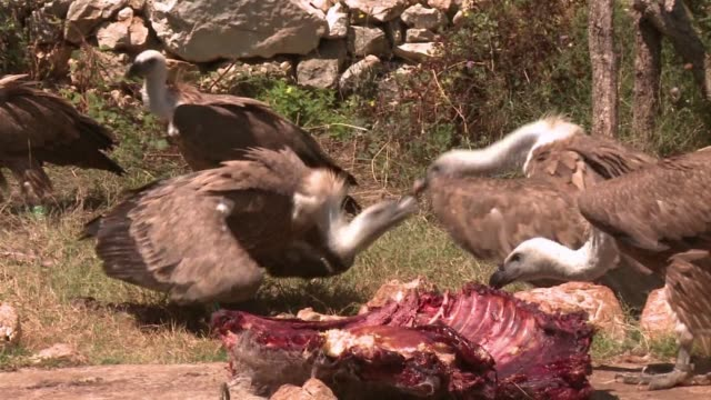 stockvideo's en b-roll-footage met on the croatian island of cres an ornithologist is trying almost single-handedly to save an indigenous breed of vultures which is being threatened by... - cres kroatië