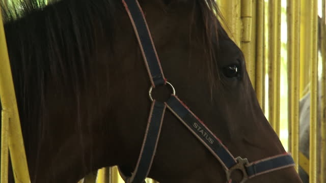 on the face of a thoroughbred horse wearing a bitless bridle or hackamore. - bridle stock videos & royalty-free footage