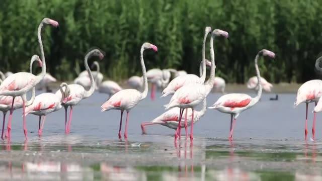 on the migration path of various birds, lake van basin hosts thousands of flamingoes, which add to the spectacular view of the lake in eastern... - aquatic organism stock videos & royalty-free footage