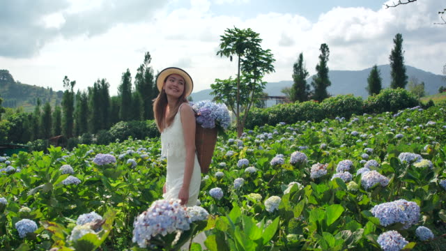 on the moutain thai beautiful woman the tourist she traveled to the hydrangea field. fresh air and she is happy - landscaped stock videos & royalty-free footage
