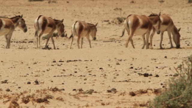 onager (equus hemionus)- herd walking in desert - mammal stock videos & royalty-free footage