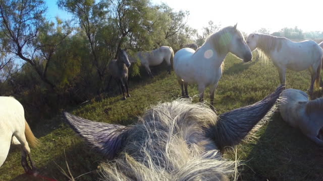 Onboard camera CU above head of Camargue horse with other horses on marsh
