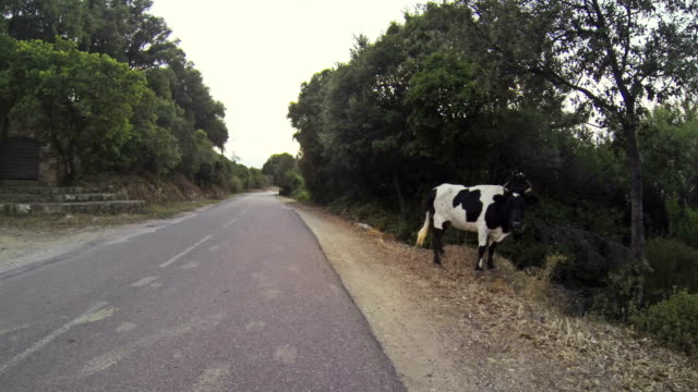 Onboard camera: car Vs angry cow