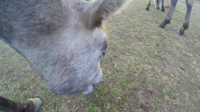 Onboard camera CU face of grey Camargue horse grazing on grass amongst herd