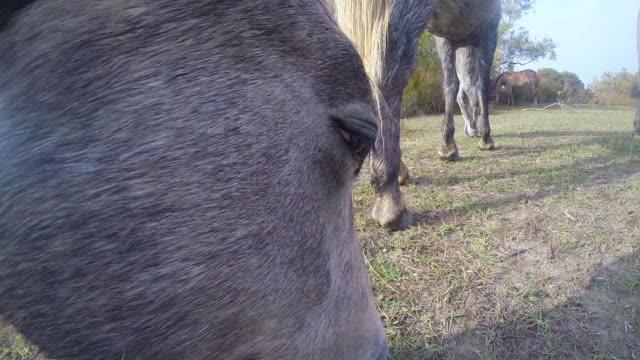 onboard camera cu face of grey camargue horse grazing on grass in herd - kleine gruppe von tieren stock-videos und b-roll-filmmaterial