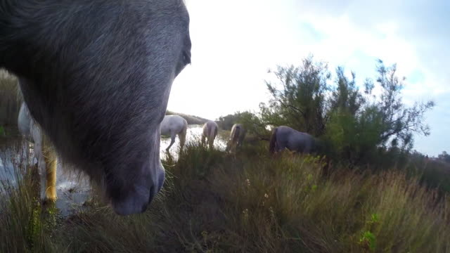 Onboard camera CU face of grey Camargue horse walking through marsh then grazing in pool