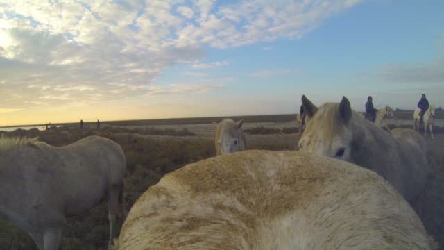 Onboard camera CU rump of white Camargue horse in herd galloping on marsh and through shallow sea with herders