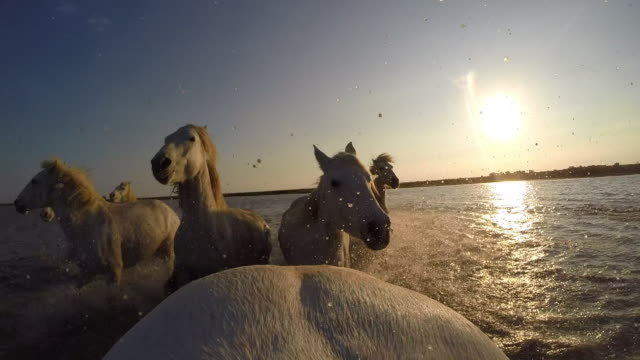 Onboard camera CU rump of white Camargue horse in herd galloping on marsh and through shallow sea with herders in sunset