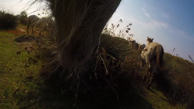 Onboard camera CU under chin of Camargue horse nuzzling other horses in herd and grazing on grass