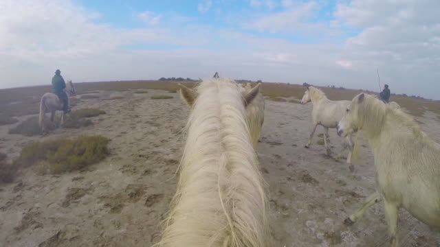 Onboard camera with group of white Camargue horses walking across marsh with herders