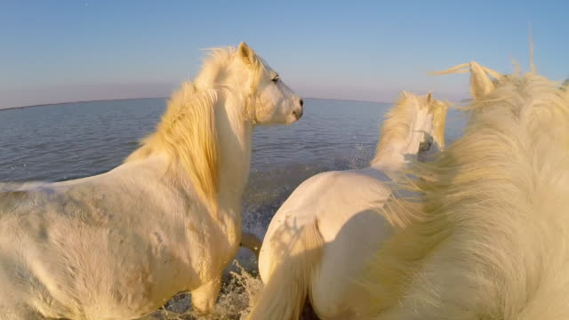 Onboard camera with group of white Camargue horses walking across sand then galloping in water with herders in evening light