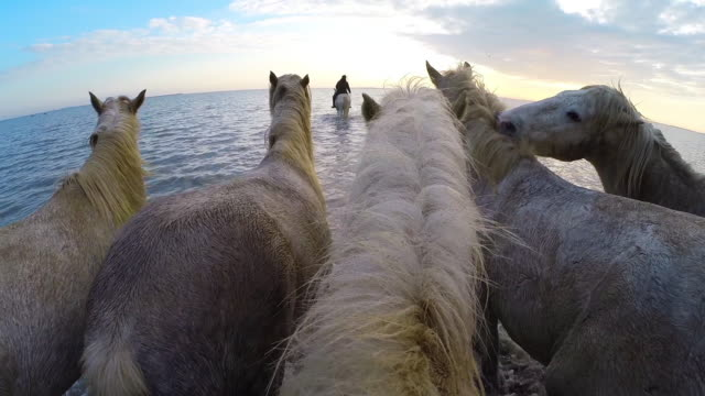 Onboard camera with group of white Camargue horses walking across sand then galloping in water with herders