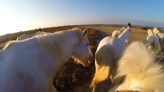 vídeos y material grabado en eventos de stock de onboard camera with group of white camargue horses walking across sand with herders in evening light - oficio agrícola