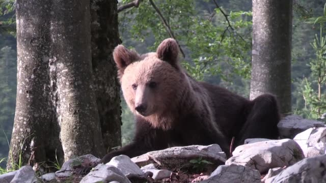 once on the verge of extinction slovenia's brown bear population has reached record levels as authorities work to ensure humans and bears live... - side by side stock videos & royalty-free footage