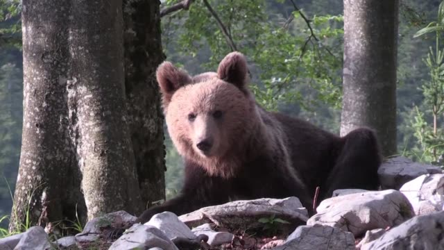 once on the verge of extinction slovenia's brown bear population has bounced back as authorities work to ensure humans and bears live harmoniously... - side by side stock videos & royalty-free footage