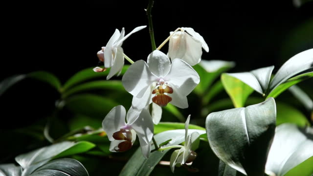 cu oncidium flower shaking by wind with sunlight and shadow at flower / onomea, big island,hawaii, united states - orchid stock videos & royalty-free footage