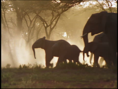 vídeos de stock, filmes e b-roll de pan backlit profile one adult + four baby elephants walking by silhouetted trees in mist / serengeti - sparklondon