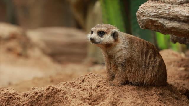 vídeos de stock, filmes e b-roll de um animal meerkat - medo