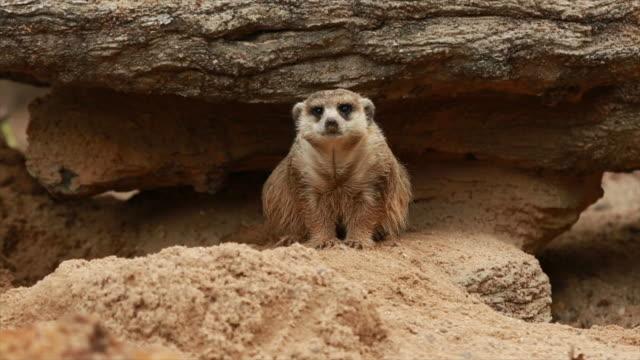 Één dierlijke Meerkat