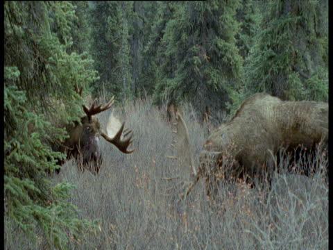 stockvideo's en b-roll-footage met one antlered moose backs off then runs away from moose with two antlers, alaska - lichaamsdeel van dieren