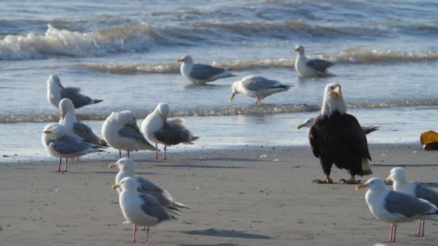 stockvideo's en b-roll-footage met one bald eagle surrounded by seagulls in alaska - opvallen in een menigte
