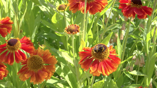 one bee collecting pollen from a garden flower - johnfscott stock videos & royalty-free footage