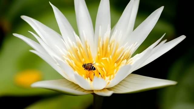 vídeos de stock, filmes e b-roll de uma abelha no centro de lótus - abelha obreira