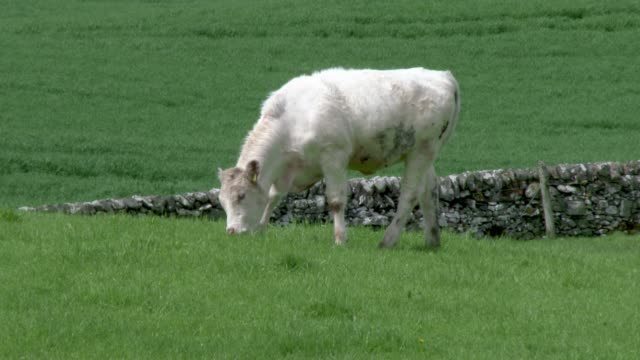 one beef cow in a field on a bright spring afternoon - johnfscott stock videos & royalty-free footage