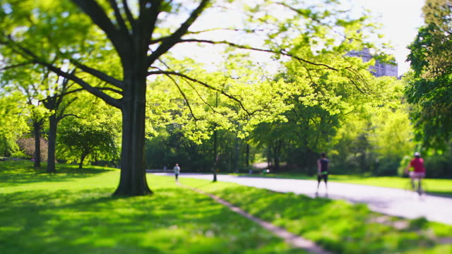 stockvideo's en b-roll-footage met one big fresh green leaf tree stands on the lawn beside the park road in central park at new york city ny usa on may 08 2019. - jogster