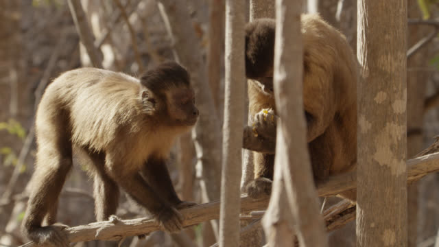 one brown capuchin (sapajus apella) tries to take food from another but is scared off.  - greed stock videos and b-roll footage