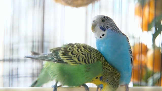 one budgerigar pushing another one - two animals stock videos & royalty-free footage