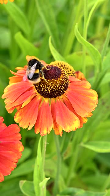 one bumblebee collecting pollen from a flower - johnfscott stock videos & royalty-free footage