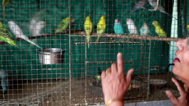 one cheerful senior indian woman playing with love birds - budgerigar stock videos & royalty-free footage