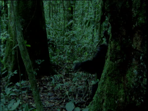 one chimp chases another through forest, ngogo - 攻撃的点の映像素材/bロール