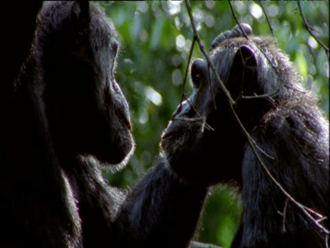 one chimp grooms and examines another's face, uganda - sich pflegen tierisches verhalten stock-videos und b-roll-filmmaterial