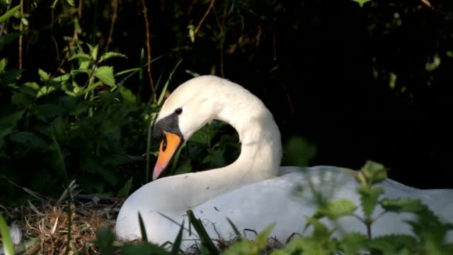 Vídeo em HD mulher Cisne-branco olor organizar nest CISNEConstellation name (optional