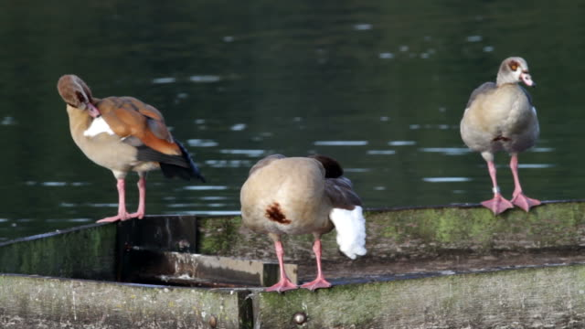 hd video three egyptian geese alopochen aegyptiacus preening - three animals stock videos & royalty-free footage