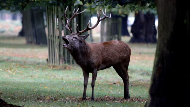 guttural roar of red deer stag in autumn hd video - deer stock videos & royalty-free footage